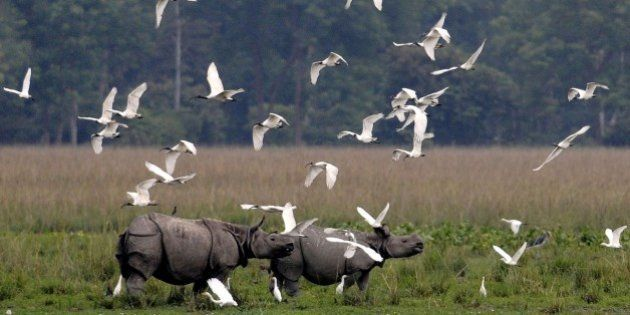 A flock of black-headed ibis fly past a pair of one-horned rhinos at the Pobitora Wildlife Sanctuary,...