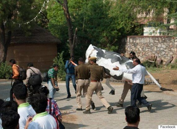 Floating Jaipur Cow Helped Neither Art Nor