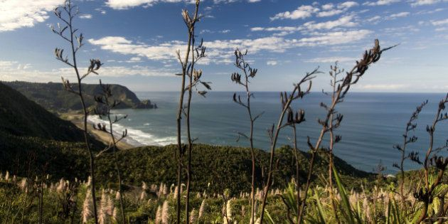 View of Piha beach through flax bushes, west coast, North Island, New