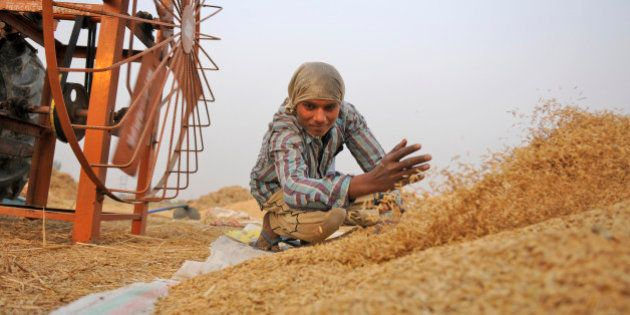 NOIDA, INDIA - NOVEMBER 23: A farmer work in a paddy field as he collects rice stalk from a threshing...