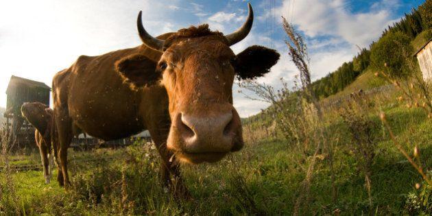 A close up of a cows