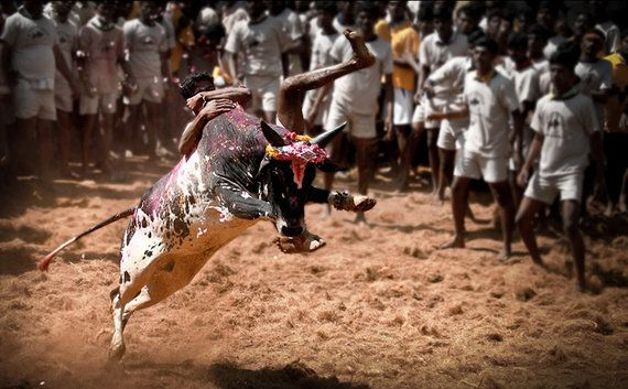 A Sanction For Abuse: Govt's Stand On Jallikattu Bull Festival Is Against Law And