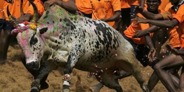 Indian youth attempt to catch a bull during a bull-taming festival known as Jallikattu at Palamedu Village...