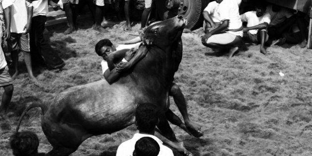 Supreme Court Stays Tamil Nadu's Bull Taming Sport