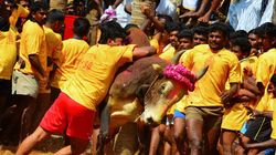 Why I Think Banning Jallikattu Is A Big