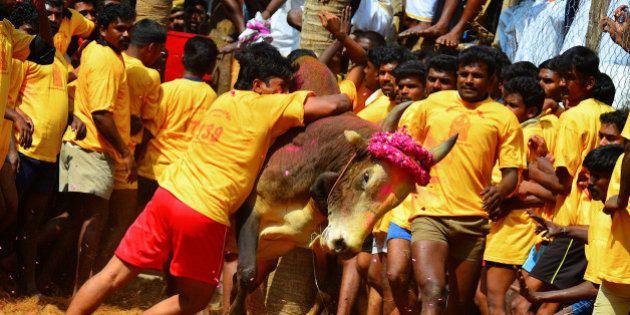Jallikattu is a bull taming ritual in Tamil Nadu as a part of Pongal celebrations on Mattu Pongal day....