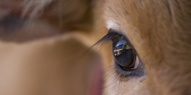 Close-up of the eye of a local cow calf, Bandhavgarh National Park, Madhya Pradesh,