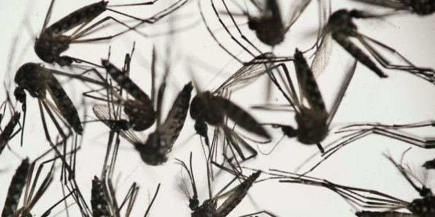 Aedes aegypti mosquitoes sit in a petri dish at the Fiocruz institute in Recife, Pernambuco state, Brazil,...