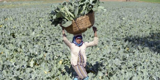 Indian farmer Gomtiben lifts a basket loaded with cauliflowers in a field in Rasalpur village, some 50...