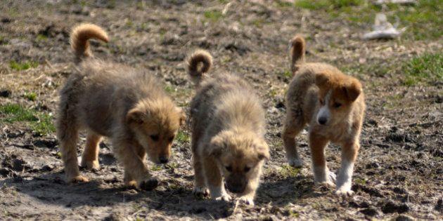 SRINAGAR, KASHMIR, INDIA - MARCH 19: Stray puppies roam on March 19, 2019 in Srinagar, the summer capital...