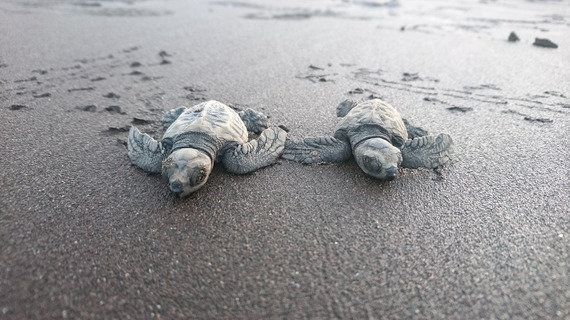 These Villagers Are Saving Endangered Olive Ridley Turtles, And You Can Join In