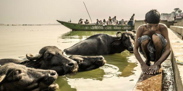 Varanasi, India - October 08, 2015 Man washing clothes in the Ganges river beside water buffaloes Varanasi...