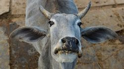 Beef Ban Pushing Maharashtra Farmers Into