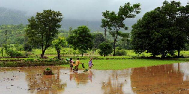 Locals working in paddy fields near Pune, India. Most of the villages around Pune are dependent of yearly...