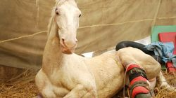 Shaktiman The Horse Is Now Able To Stand On His Own, Days After