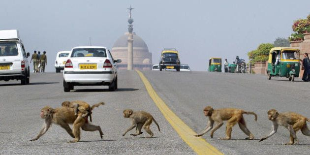 New Delhi, INDIA: (FILES) In this picture taken 23 February 2006, Monkeys cross the road in front of...