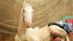 Injured Uttarakhand Police Horse Shaktiman