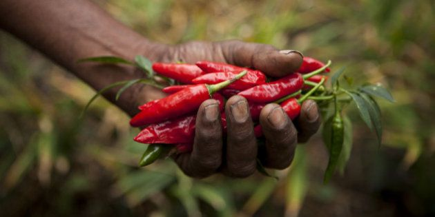 A farmer picks ripe red chillies which will be sold as fairtrade