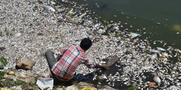 An Indian man picks a large dead fish from the water of Ulsoor Lake in Bangalore on March 7, 2016.Thousands...