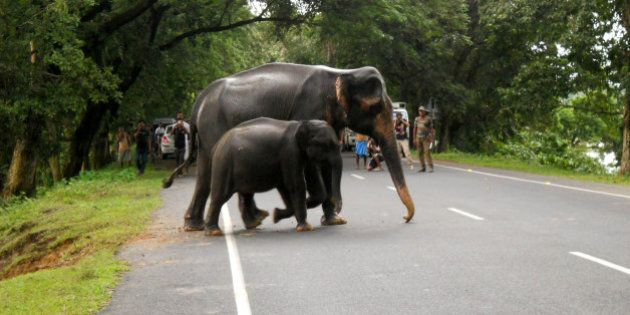 ASSAM, INDIA - SEPTEMBER 03: Wild elephants cross a road as they come out of the flood-hit Kaziranga...
