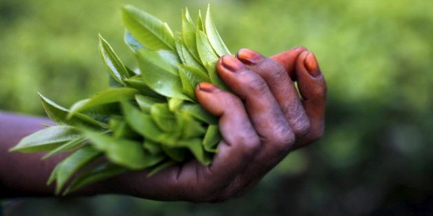 Freshly plucked tea leaves are seen in the hand of a tea garden worker inside Aideobarie Tea Estate in...