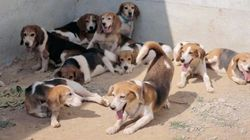 Remember The Beagles That Were Rescued From A Lab? Now 156 More Are Up For