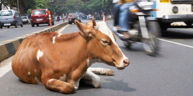 India, Karnataka, Bangalore, sacred cow sitting in