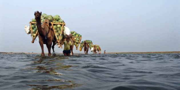 Farmers use camels to transport their watermelons across the river Ganges at Neevna village on the outskirts...