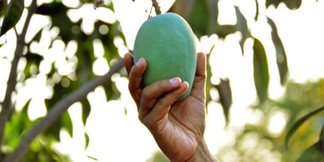 A man plucking a mango from the