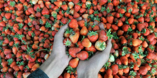 SRINAGAR, INDIA - MAY 16: Kashmiri farmers pack strawberries before sending them to the market at a farm...