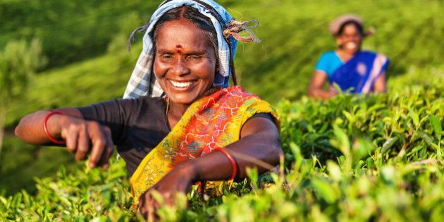 Tamil women plucking tea leaves in Southern India, Kerala. India is one of the largest tea producers...