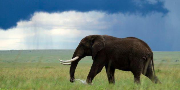 Kenya, Masai Mara national game reserve, elephant (Loxodonta africana), male in the marsh, rainy