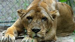 WATCH: Buffalo Charges After Lioness In Gujarat's Gir Forest National
