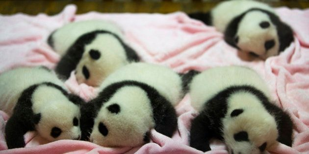 CHENGDU RESEARCH BASE OF GIANT PANDA BREEDING, CHENGDU, SICHUAN PROVINCE, CHINA - 2015/09/21: Baby Pandas...