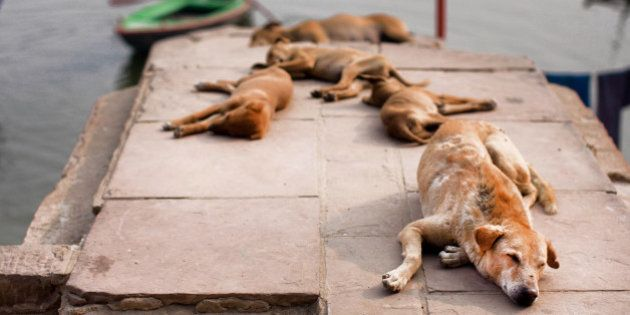 Stray dogs sleeping in the sun near the river bank in the Indian