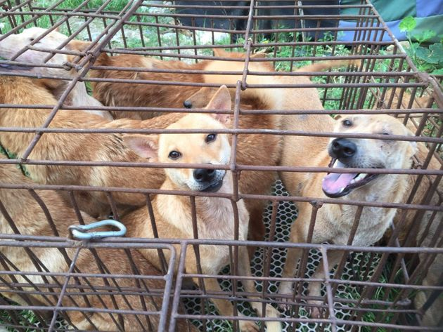 PHOTOS: Twenty Canines Rescued In China A Day Before Ending Up As Food In Dog Meat