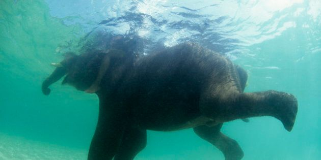 African Bush Elephant (Loxodonta africana) swimming underwater in