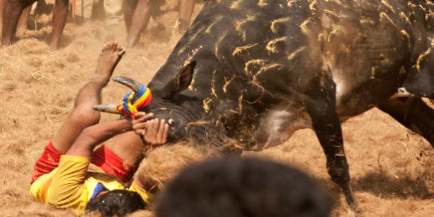 A participant holds back an angry bull during the traditional bull taming festival called 'Jallikattu'...