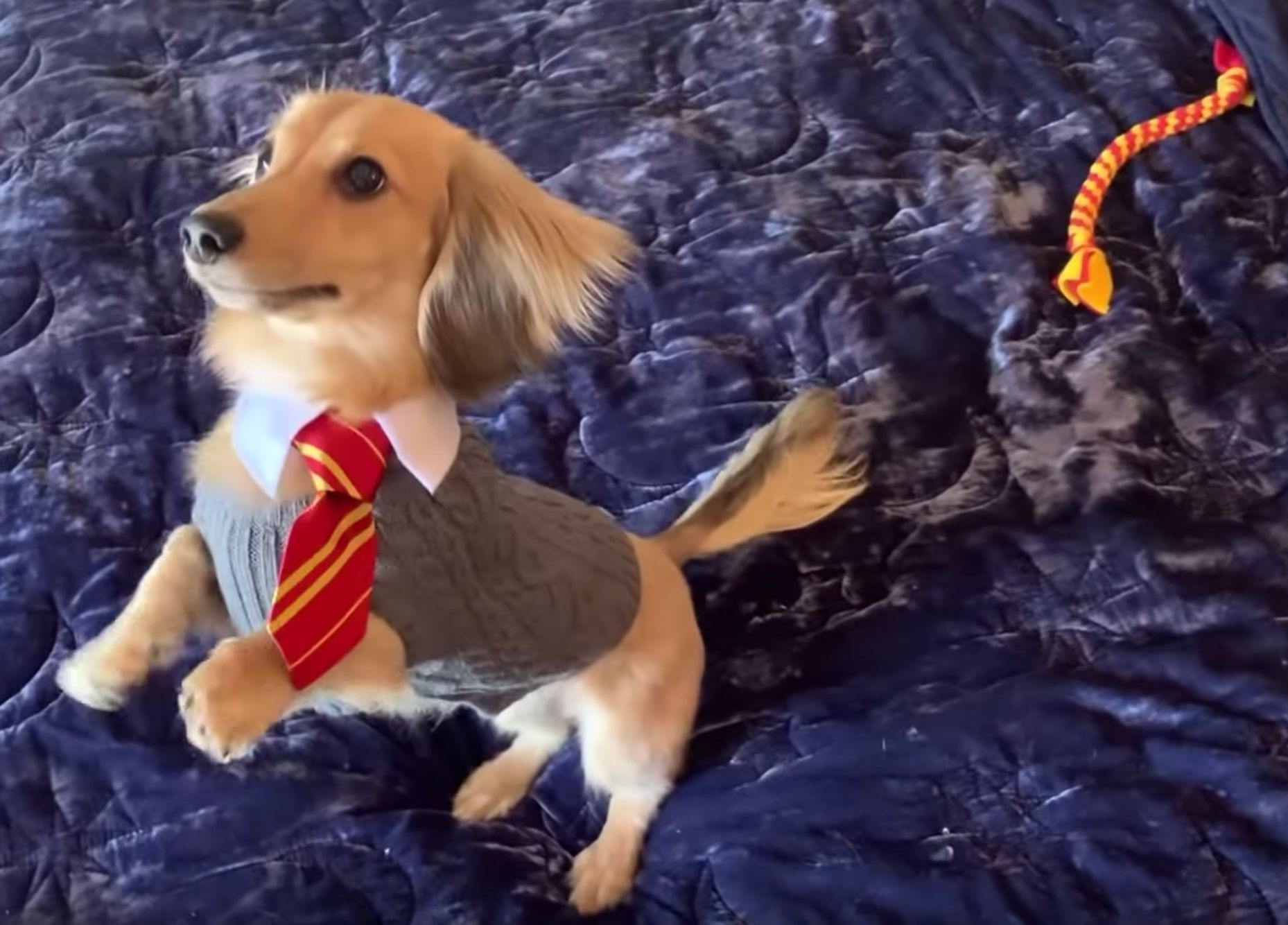 This Adorable Mini Dachshund Called Remus Only Responds To 'Harry Potter'