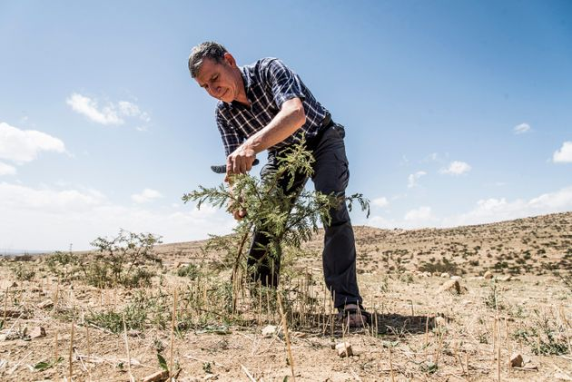 Das Einzige, was die Bauern tun müssen: Die Baumtriebe erhalten, sie vor Ziegen und Feuer schützen und regelmäßig beschneiden.