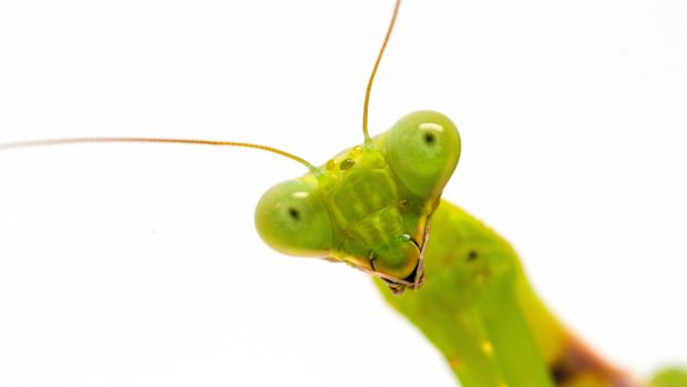 Green mantis close-up. Surprised soothsayer macro photo. Mantis portrait with curious look to camera. Exotic pet macro photo. Tropical insect closeup. Green mantis banner template with text place