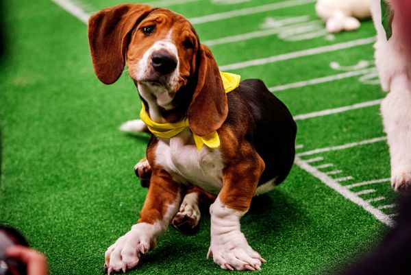 Buford the basset hound.