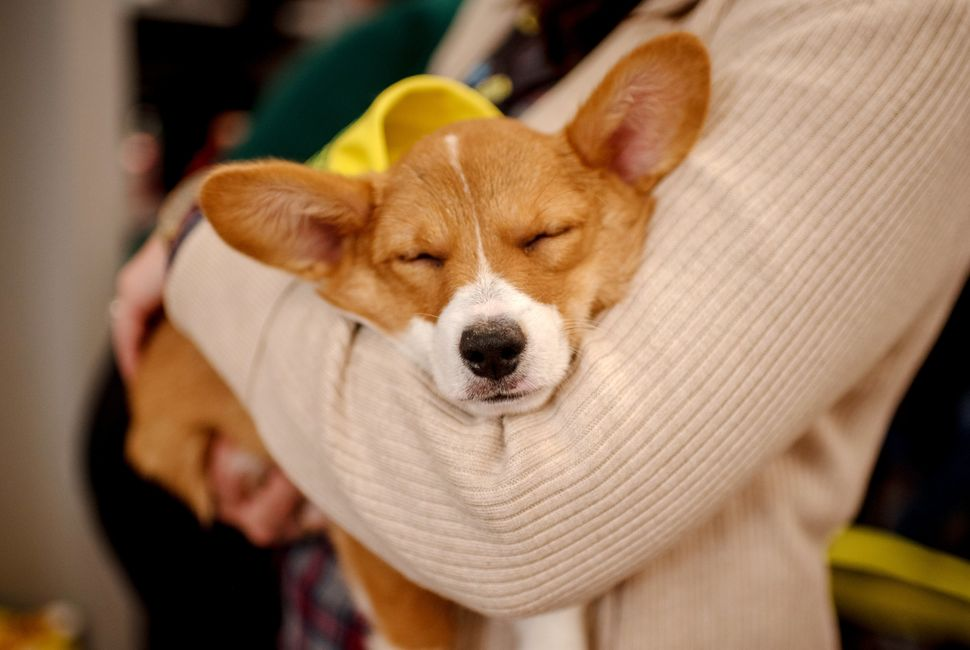 Clara the corgie takes a nap after the filming of Puppy Bowl XV in New York City.
