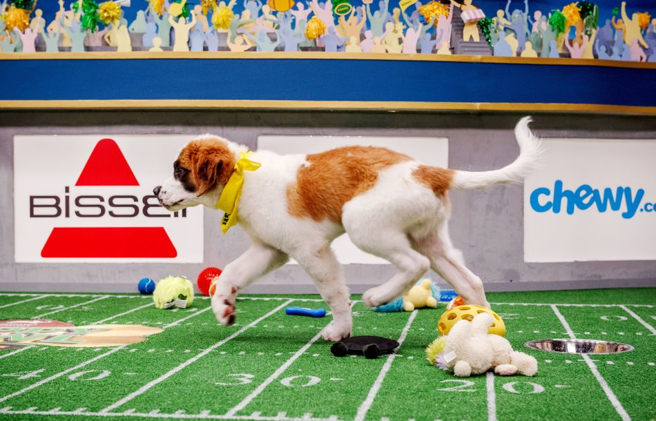Double touchdown-scoring dog Gallagher during the filming of the Puppy Bowl in New York City on Oct. 16, 2018.