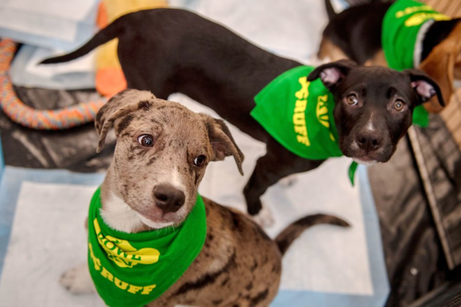 Abner the Catahoula and Glory the Labrador mix hope for attention while waiting to go onstage.