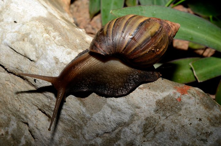 Experts caution that the future of Hawaii's tree snails, one pictured here in Kauai, Hawaii, looks bleak.