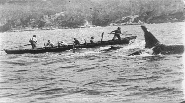 범고래와 함께 고래를 추적하는 오스트레일리아 동부 에덴 앞바다의 포경선원들. 보트 앞에 작살을 든 선원이 있고, 옆에 범고래가 따르고 있다. 1910년 찰스 웰링스가 찍은 다큐멘터리