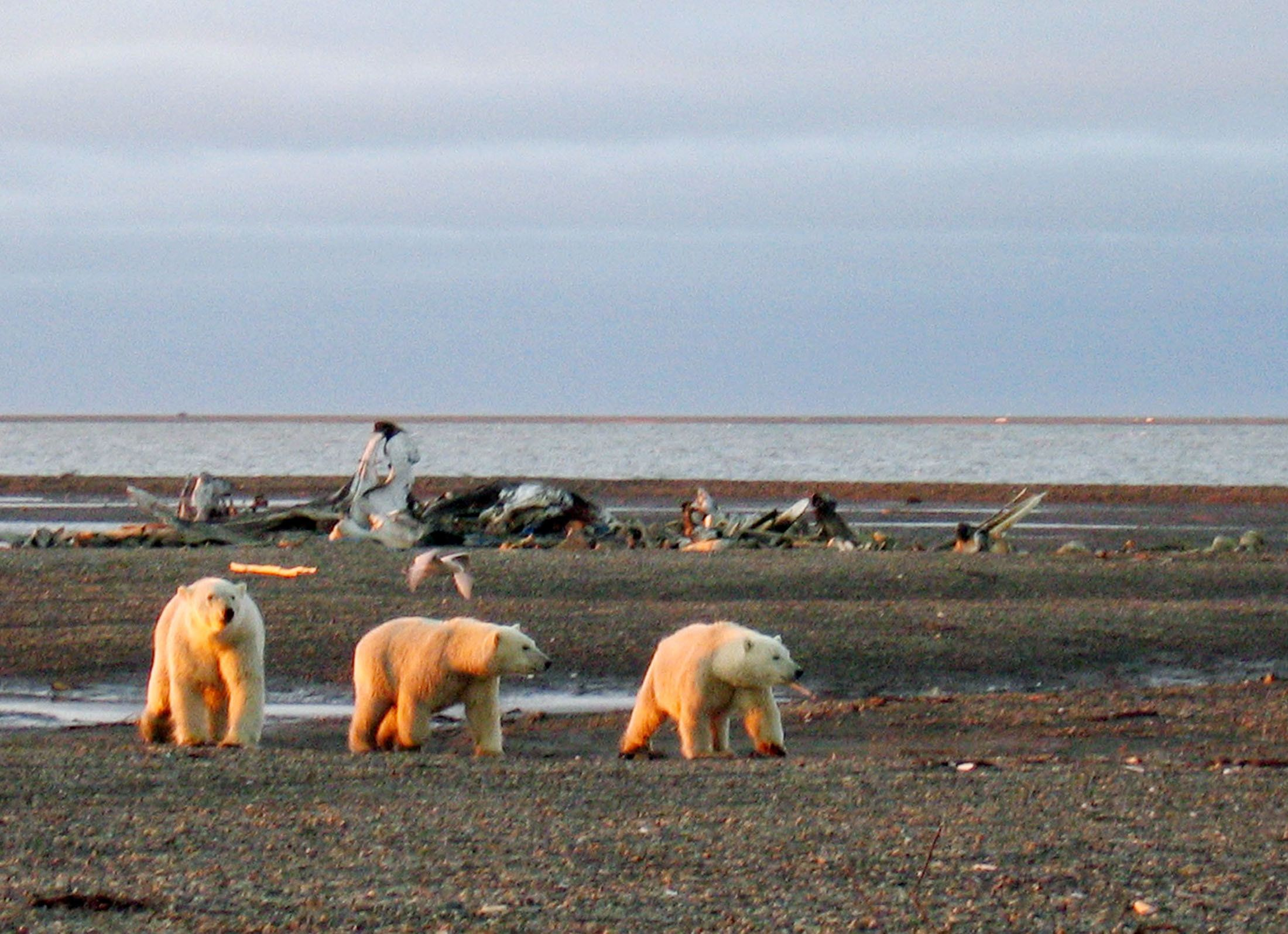 Three polar bears are seen on the Beaufort Sea coast within the 1002 Area of the Arctic National Wildlife Refuge in this undated handout photo provided by the U.S. Fish and Wildlife Service Alaska Image Library on December 21, 2005. U.S. Senate Democrats succeeded in blocking, for now, a Republican plan to allow oil drilling in the 1002 area of the Arctic National Wildlife Refuge (ANWR) as part of a massive $453 billion war-time military spending bill. EDITORIAL USE ONLY REUTERS/HANDOUT/U.S. Fish and Wildlife Service Alaska Image Library