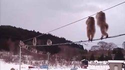 눈을 밟기 싫은 일본 원숭이들이 전선을 타고