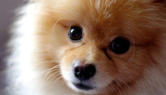12 motivos para amar o Lulu da Pomerânia, o cachorro